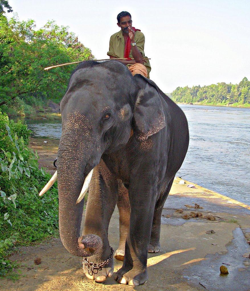 Kerala elephants foaming girls, fucking wearing thongs
